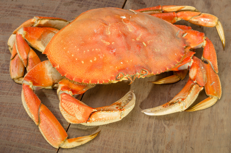 Dungeness-Crab-1